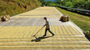 Koffiebonen drogen in Costa Rica