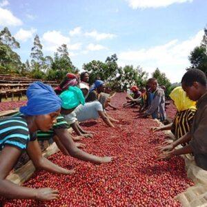 Ethiopië Sidamo koffiebonen