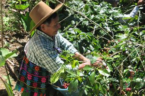 Koffiebonen oogsten in Antigua