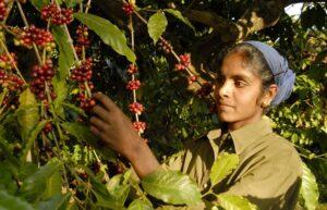 Koffie telen in India