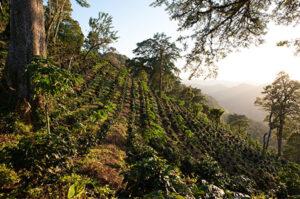 Koffieplantage op een vulkaan in Guatemala