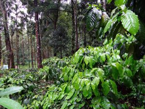 Robusta koffieplantage